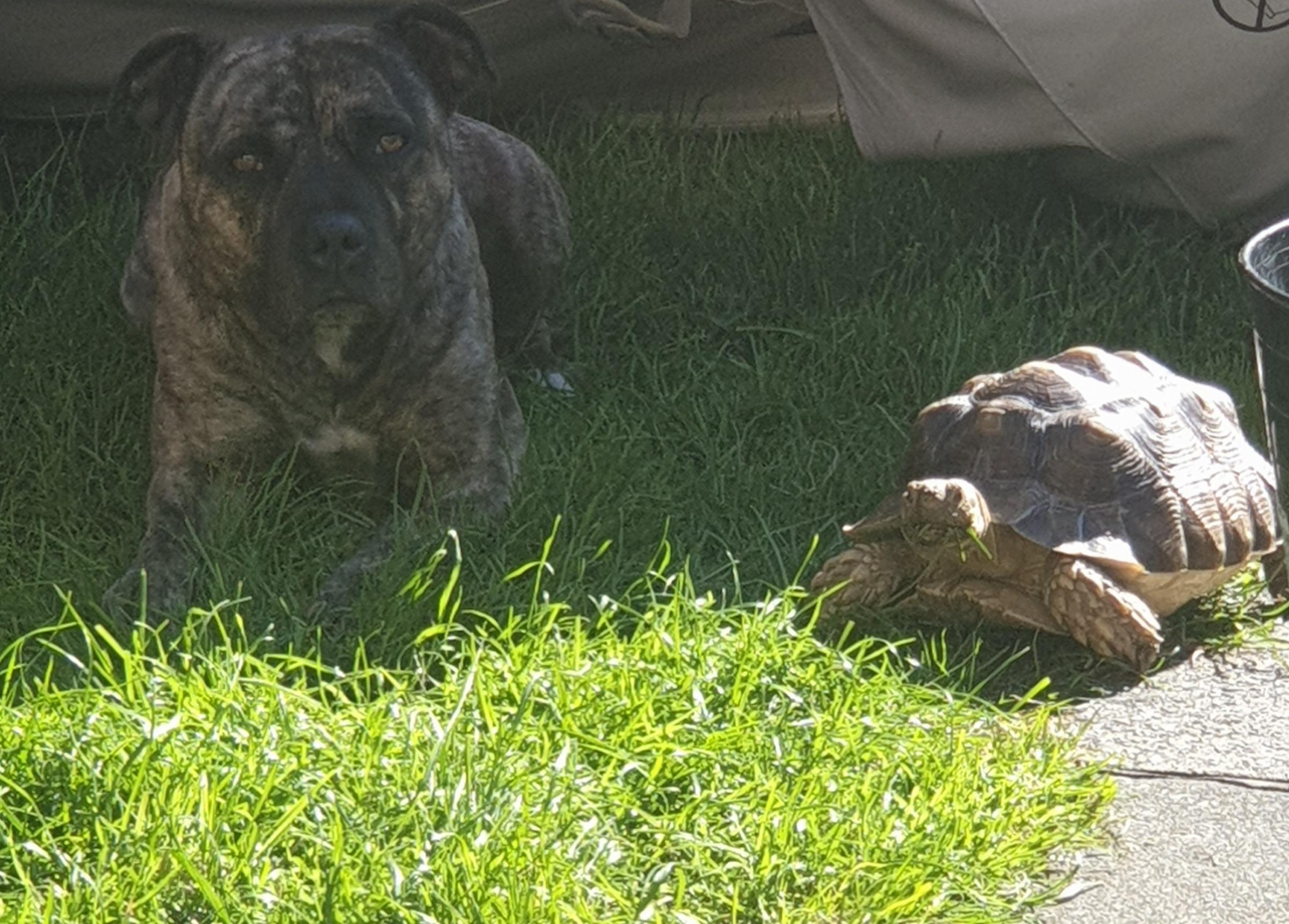 The unusual friendship between this dog and tortoise in Orford