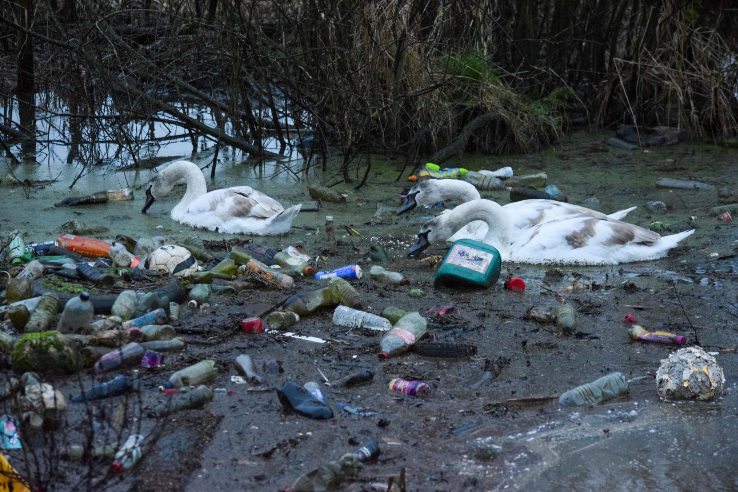 Huge community clean up to take place after shocking picture of swans in filthy canal