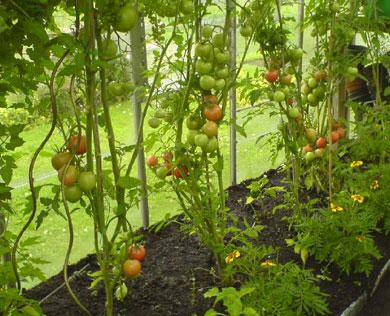 Some of our tomato plants