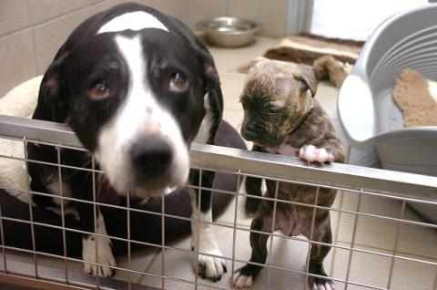 Stray Dog Adopts Puppy After Phantom Pregnancy At Cheshire Dogs Home Warrington Guardian