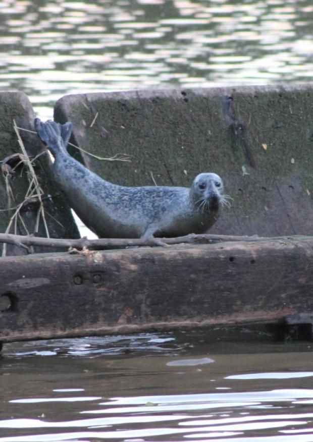 Seal spotted in the Mersey