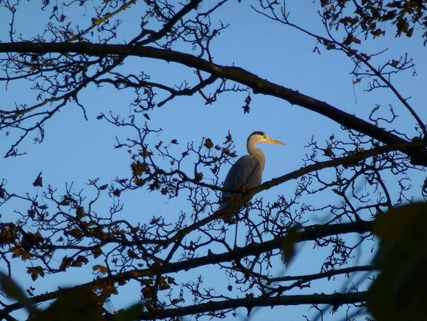 A heron spotted at Peel Hall