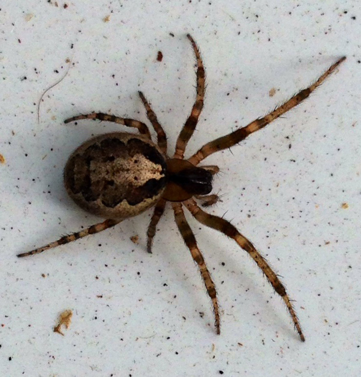 Have you spotted a False Widow in your home? | Warrington Guardian