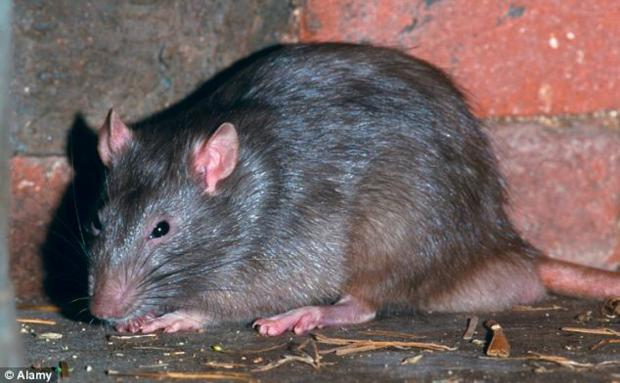 Warrington residents paying £70 to get rid of rats when Widnes people get the service for free