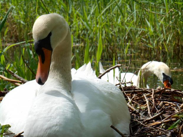 The female on the nest with the male swan in the background. Picture by Darren Moston