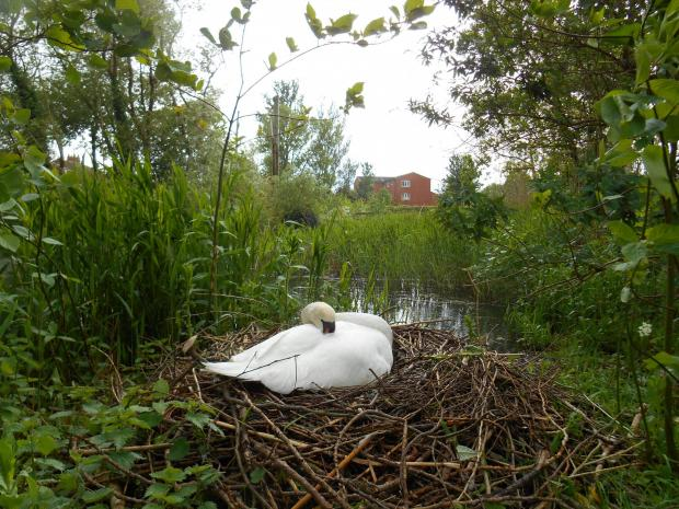 £1k reward to track down missing swans in Stockton Heath