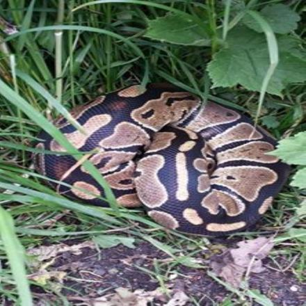 This picture was taken of the python in Lymm