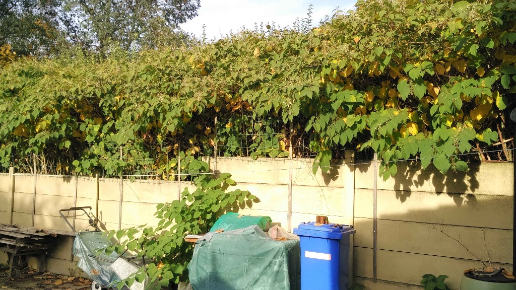 Japanese knotweed growing over the fence of Dave Pickup's home in Brickhurst Way, Woolston.