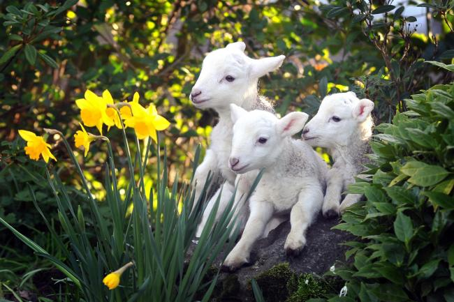 Image result for spring lambs