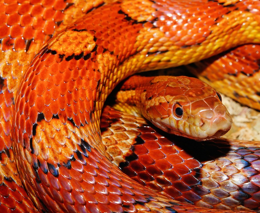 Corn snakes were stolen during the raid