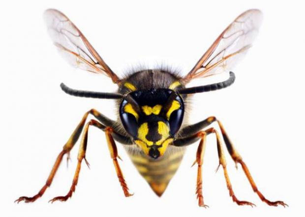 Warrington Guardian: A wasp