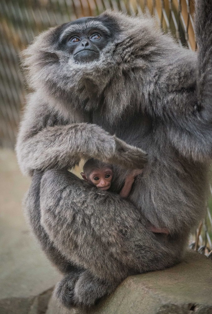 Birth of rare gibbon adds to record baby boom at Chester Zoo