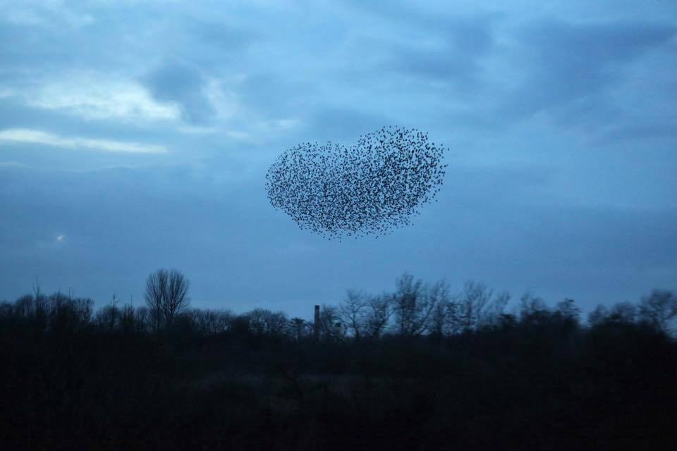 A heart-shaped starling murmuration over Woolston from Tony Marsh
