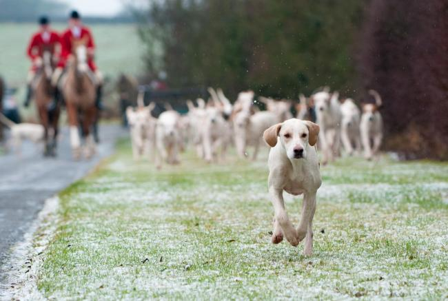 A single Quorn fox hound leads the way from the meet. Snow covers the ground..